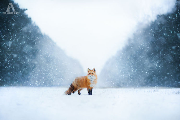 Iza-lyson-freya-the-fox-4
